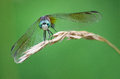 Dragonfly closeup of a resting in auguest Stock Photography