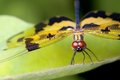 Dragonfly, Common Picture Wing,  Royalty Free Stock Photos