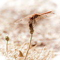 Dragonfly detail of resting on a dry plant Stock Images