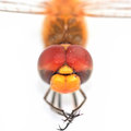 Dragonfly dragon fly face close up on white background Stock Images
