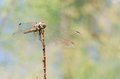 Dragonfly on dry branch III Royalty Free Stock Photo