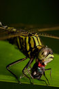 Dragonfly Eating Fly on dark background Stock Images