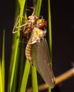 Dragonfly Emergence Royalty Free Stock Photo
