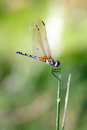 Dragonfly this in family caliph ali dae kingdom animalia the column arthropoda class insecta Stock Images