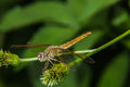 Dragonfly on a flower macro Stock Images