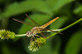 Dragonfly on a flower macro Royalty Free Stock Photo