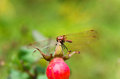 Dragonfly on the fruit of wild rose Royalty Free Stock Photos