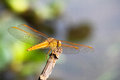 Dragonfly a golden in the sunshine Royalty Free Stock Image