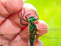 Dragonfly on hand Royalty Free Stock Photo