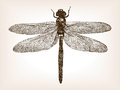 Dragonfly insect hand drawn sketch vector Royalty Free Stock Photo