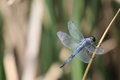 Dragonfly on leaf gray dry Royalty Free Stock Photography