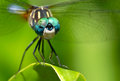 Dragonfly on a leaf green with soft focused natural green background Royalty Free Stock Photo