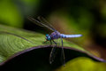 Dragonfly libellolula resting on a leaf Royalty Free Stock Images