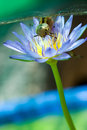 Dragonfly on a lotus blossom. Stock Images