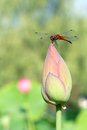 Dragonfly and lotus bud the stands on top of Royalty Free Stock Photos