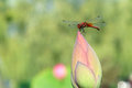 Dragonfly and lotus bud the stands on top of Stock Image