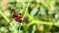 Dragonfly macro brown on grass Stock Images
