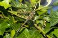 Dragonfly Macro On Iris Bush