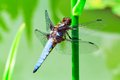Dragonfly macro view of sitting on green plant stem Royalty Free Stock Photo