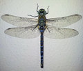 Dragonfly macro on the white wall Royalty Free Stock Images