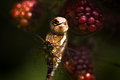 Dragonfly Migrant hawker on brambleberries Stock Images