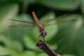 Dragonfly on the nature macro picture form thai Royalty Free Stock Photography