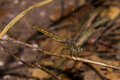 Dragonfly on the nature macro picture form thai Royalty Free Stock Photos