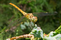 Dragonfly odonata les prey among the thuja Stock Photography