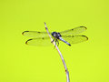 Dragonfly outdoor on a stick with green background Royalty Free Stock Photo