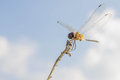 Dragonfly perch on dead grass Royalty Free Stock Image