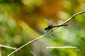 Dragonfly Perched on Thin Limb Stock Images