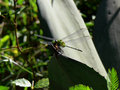 Dragonfly on a plant Royalty Free Stock Photography