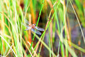 Dragonfly in the reeds on a lake Stock Images