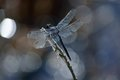 Dragonfly at rest a resting on a branch Royalty Free Stock Photos