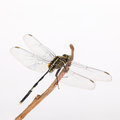 Dragonfly resting in the branch Royalty Free Stock Photo