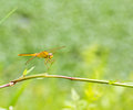 A dragonfly resting on branch Stock Photography