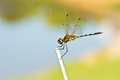 A dragonfly resting on branch Royalty Free Stock Photography