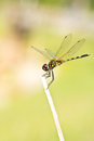 A dragonfly resting on branch Stock Images
