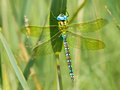 Dragonfly Resting on a Leaf Royalty Free Stock Photo
