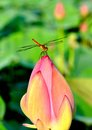 A dragonfly resting on a lotus bud Royalty Free Stock Photo
