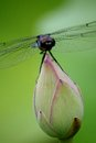 Dragonfly Resting On Lotus