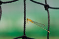 A dragonfly resting on net Royalty Free Stock Photo