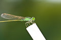 A dragonfly resting on white branch Stock Image