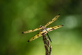 Dragonfly rhyothemis variegata known as the common picture wing or variegated flutterer is a species of of the family Royalty Free Stock Photography