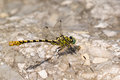 Dragonfly in a rock close up Stock Photography