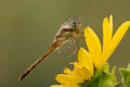 Dragonfly on rosinweed blossom Stock Photography