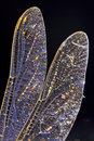 Dragonfly's wing Royalty Free Stock Photo