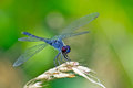 Dragonfly seaside dragonlet a standing on weed Royalty Free Stock Photos