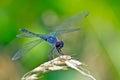 Dragonfly Seaside Dragonlet Royalty Free Stock Photo