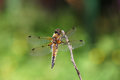 Dragonfly sits on a branch rear view four spotted chaser libellula quadrimaculata russia near moscow Stock Images